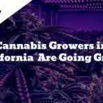 cannabis growers going green solar energy